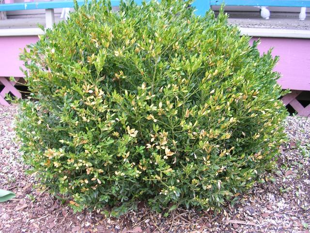 Boxwood Leaf Miner Damage